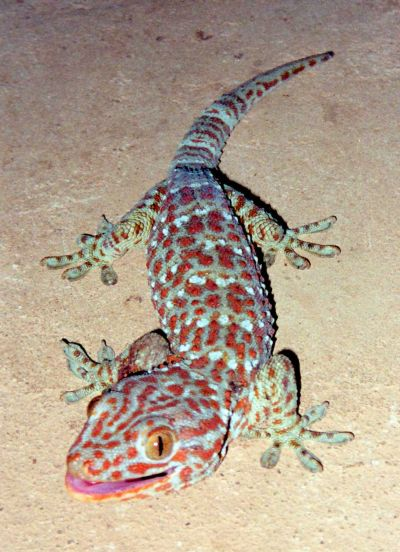 http://www.developpement-durable-lavenir.com/images/Photos/Animaux/Tokay_Gecko-400.jpg