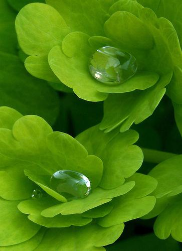 gouttes d'eau sur feuilles d'ancolie